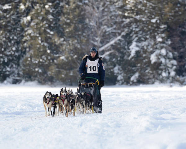 Photograph - Sled Dogs Running by Susan Rissi Tregoning