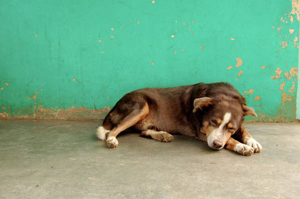 Wall Art - Photograph - Sleeping Dog In Front Of Aqua Wall by Pearl Vas