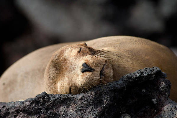 Wall Art - Photograph - Sleeping Galapagos Sea Lion by David Hosking