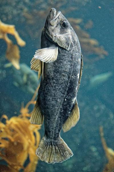 Photograph - Sleeping Kelpie - Rockfish by KJ Swan