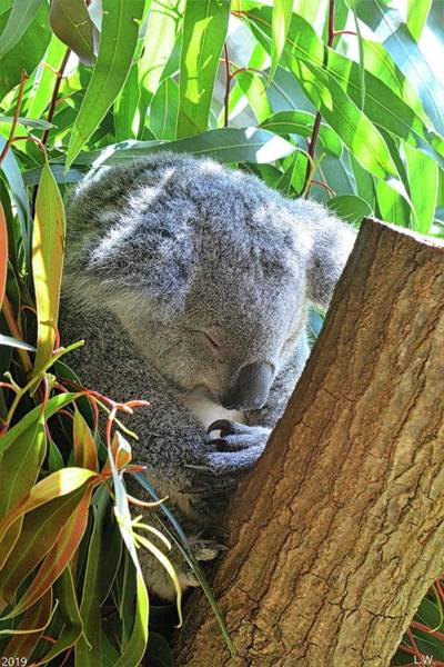 Photograph - Sleeping Koala Vertical by Lisa Wooten