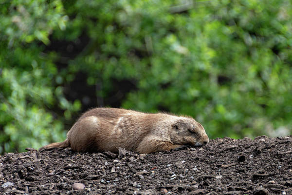 Photograph - Sleeping Prairie Dog by Scott Lyons
