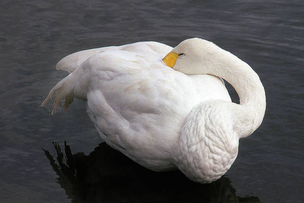 Wall Art - Photograph - Sleeping Swan by Jerry Griffin