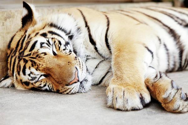Chiang Mai Province Photograph - Sleeping Tiger, Chiang Mai, Thailand by Ivanmateev