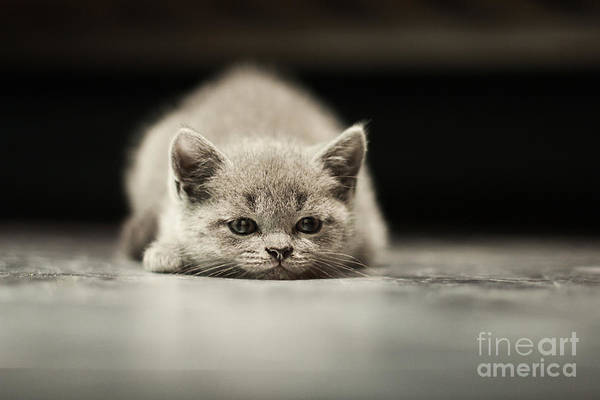 Friendly Wall Art - Photograph - Sleepy British Kitten Over Black by Belovodchenko Anton