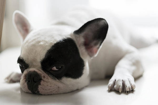 Canine Wall Art - Photograph - Sleepy French Bulldog by Kittibowornphatnon