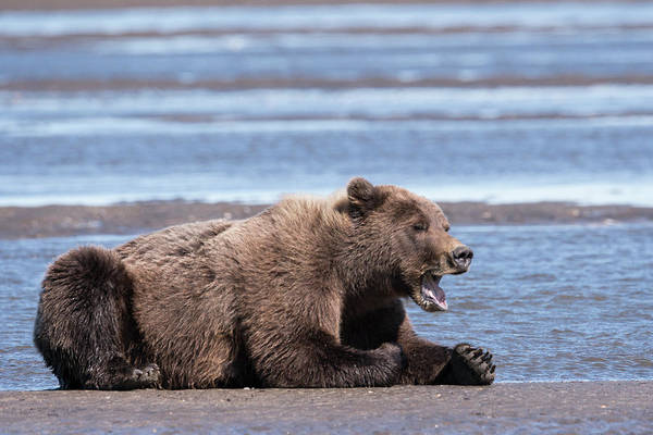Bear Creek Photograph - Sleepy Grizzly Bear, Yawns by Brenda Tharp