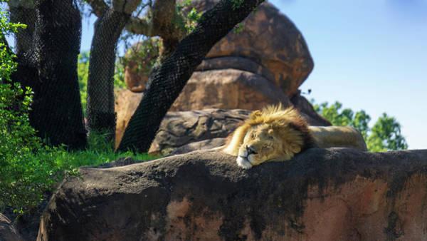 Photograph - Sleepy Lion by Jason Fink
