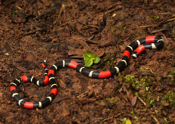 Wall Art - Photograph - Slender Coral Snake by Michael Lustbader