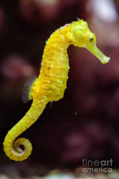 North American Wildlife Wall Art - Photograph - Slender Seahorse Hippocampus Reidi by Vladimir Wrangel