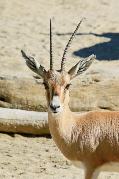 Wall Art - Photograph - Slinder Horned Gazelle by Shoal Hollingsworth