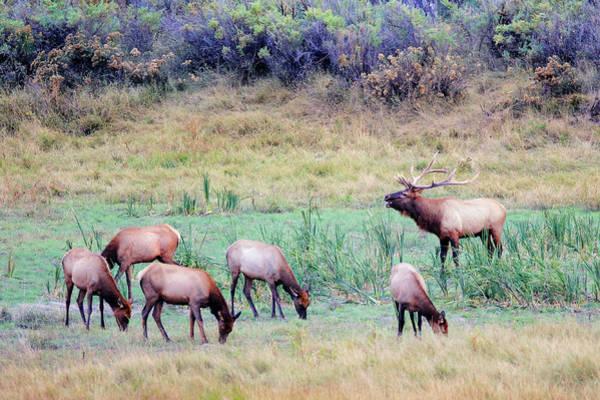 Elk Herd Photograph - Slippery Ann Elk by Todd Klassy