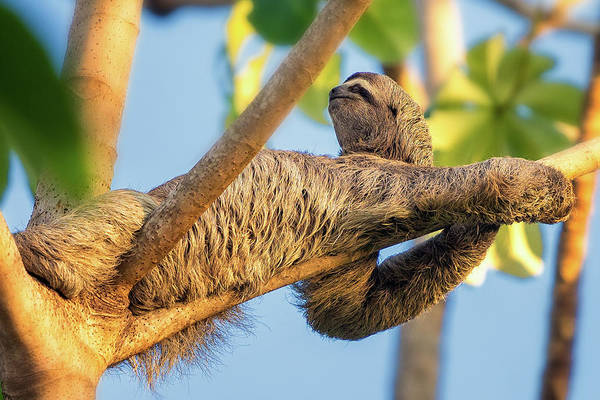 Photograph - Sloth by Darylann Leonard Photography