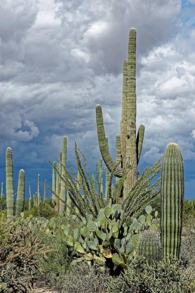 Photograph - Slow Pokes - Sonoran Desert by KJ Swan