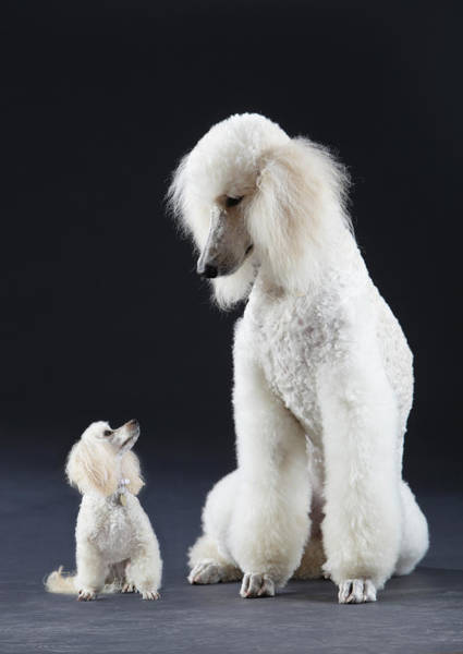 Poodle Photograph - Small And Large Poodle by Peter Cade