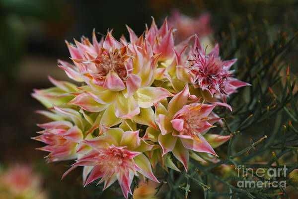 Photograph - Small Cluster Proteas by Joy Watson