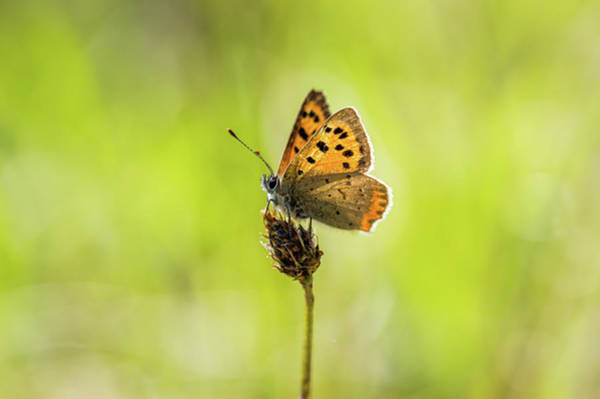 Wall Art - Photograph - Small Cooper Butterfly by Stephen Jenkins