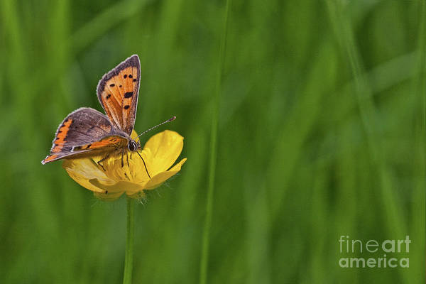 Wall Art - Photograph - Small Copper Butterfly by John Edwards