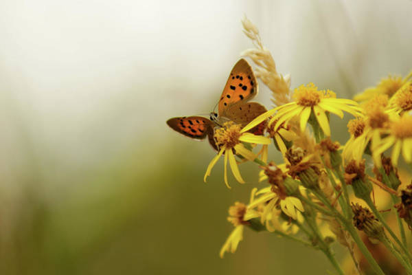 Insect Photograph - Small Copper On Ragwort by Ginny Battson