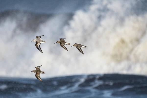 Calidris Alpina Wall Art - Photograph - Small Flock Of Dunlin In Flight, Druridge Bay, Northumberland by Roger Powell / Naturepl.com
