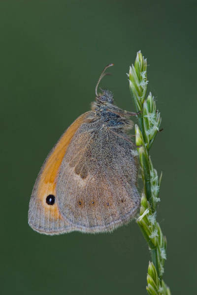 Wall Art - Photograph - Small Heath Butterfly by David Hosking