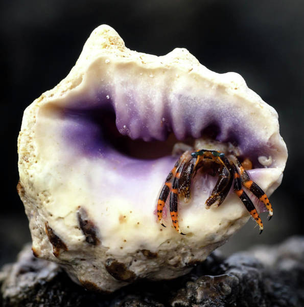Crab Photograph - Small Hermit Crab by Christopher Johnson