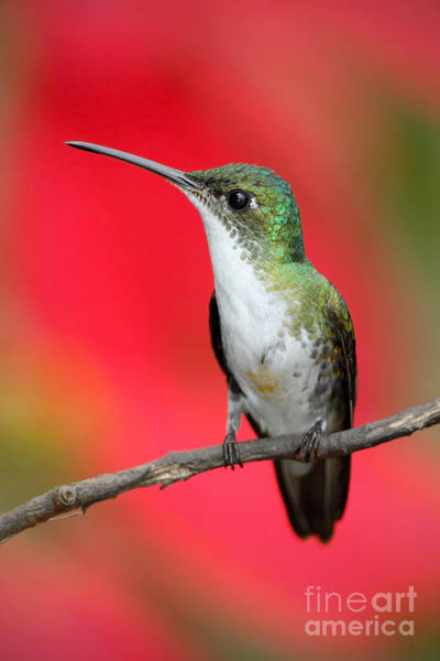 Forest Bird Photograph - Small Himmngbird Andean Emerald Sitting by Ondrej Prosicky