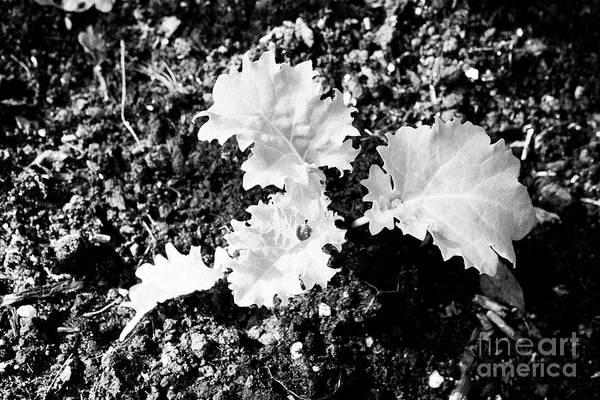 Wall Art - Photograph - Small Kale Plant Growing Plants In Garden by Joe Fox