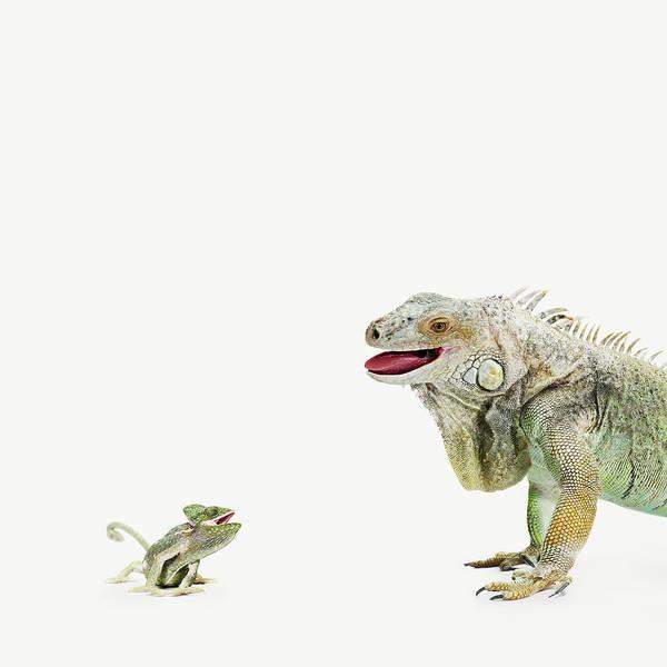 Green Iguana Wall Art - Photograph - Small Lizard Chameleon Talking To A Big by Maarten Wouters