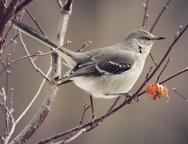 Mockingbird Photograph - Small Miracles by Jody Trappe Photography