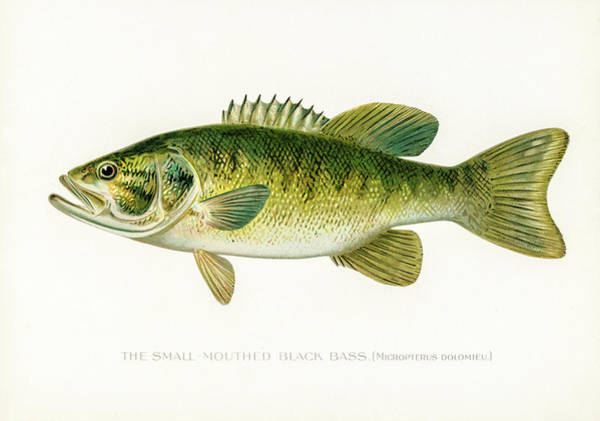 Drawing - Small Mouth Black Bass by David Letts