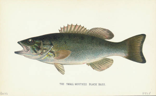 Freshwater Photograph - Small Mouthed Black Bass by Kean Collection