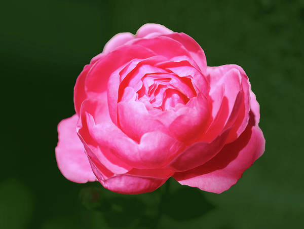 Wall Art - Photograph - Small Pink Red Rose In The Garden by Johanna Hurmerinta