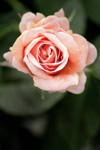 Photograph - Small Pink Rose by Don Johnson