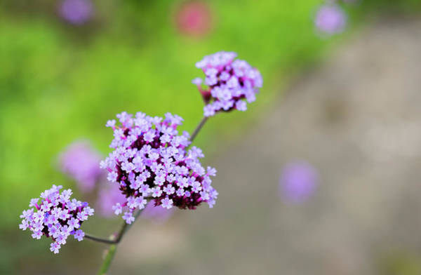 Photograph - Small Purple Flowers by Scott Lyons