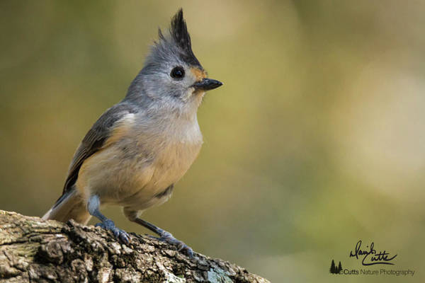 Small Titmouse Art Print