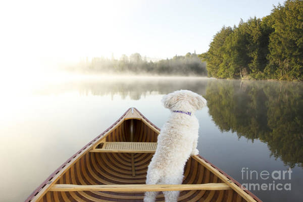 Poodles Wall Art - Photograph - Small White Cockapoo Dog Navigating by Brian Lasenby