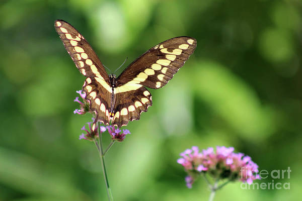 Photograph - Smiling Giant Swallowtail Butterfly by Karen Adams
