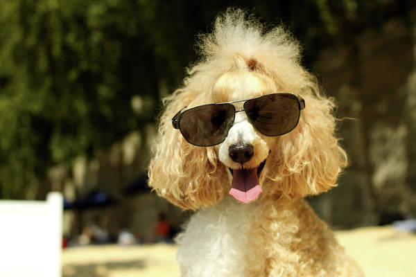 Poodle Photograph - Smiling Poodle Wearing Sunglasses On by Stephanie Graf-vocat - Sgv Photography