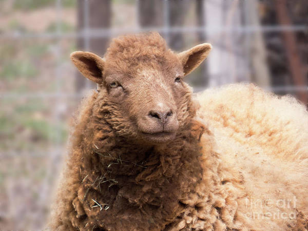 Photograph - Smiling Sheep Face by Christy Garavetto