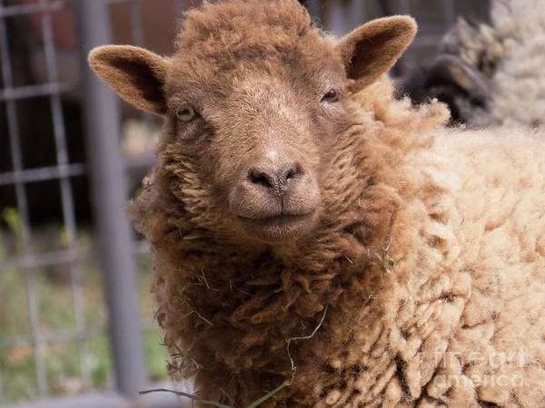 Photograph - Smirking Sheep  by Christy Garavetto
