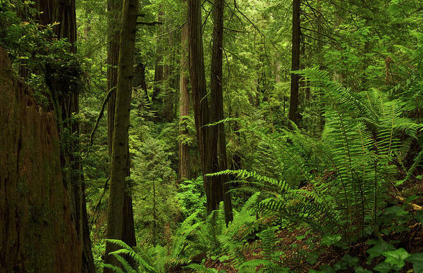 Photograph - Smith River Redwoods Horizontal by TL Mair