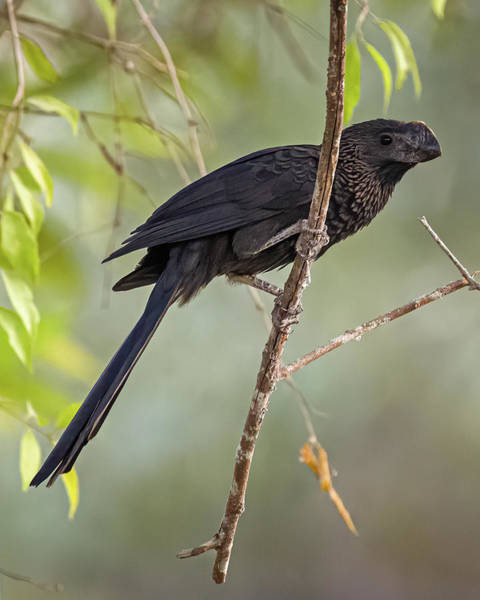 Photograph - Smooth Billed Ani La Palmita Casanare Colombia by Adam Rainoff