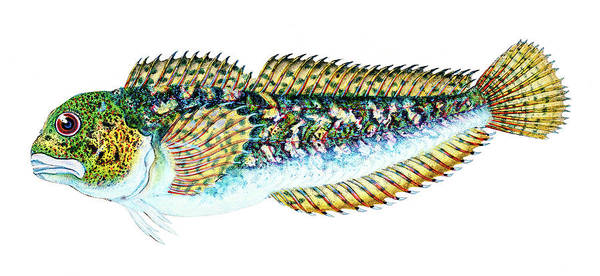 Drawing - Smooth Blenny  by David Letts