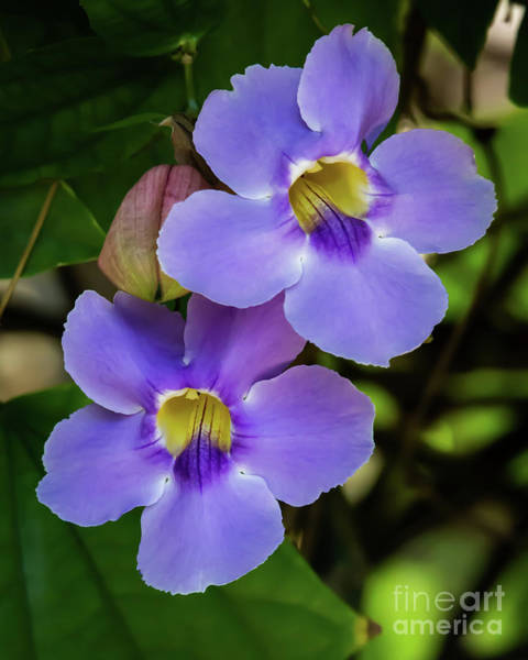 Photograph - Smooth Purple Skyvine by Sabrina L Ryan