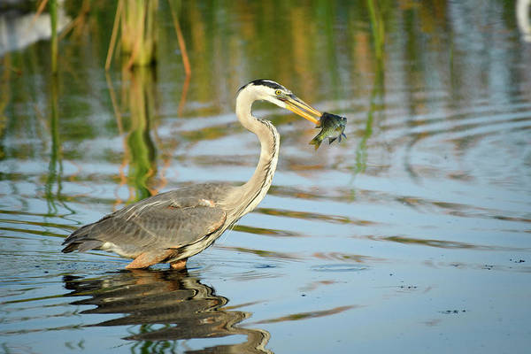 Photograph - Snack Time For Blue Heron by Donald Brown