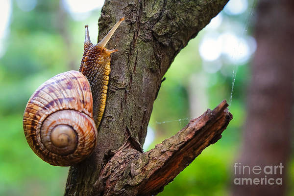 Wall Art - Photograph - Snail On The Tree In The Garden. Snail by Bozhena Melnyk