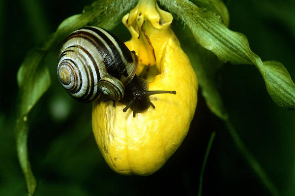 Wall Art - Photograph - Snails On Ladys Slipper by Michael Lustbader