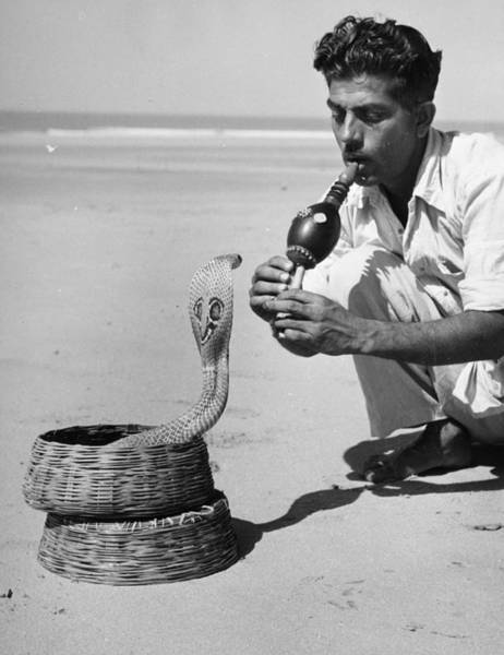 Snake Photograph - Snake Charmer by Three Lions