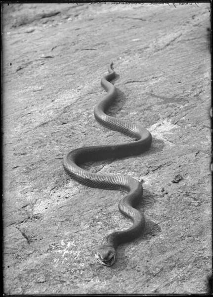 Painting - Snake On Ground At Grassy Point, Charleston Lake by Celestial Images